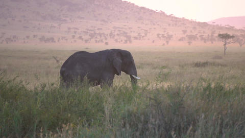 Elephant in African Savanna, Touristic Vehicle On Dusty Road After Sunset Live Action