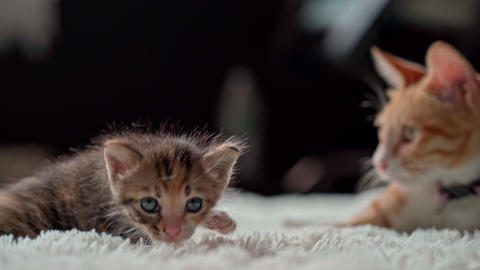 Cute little kittens on a furry white blanket Live Action