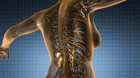 loop science anatomy scan of woman limphatic system glowing with yellow Animation