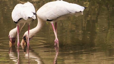 Siberian Sandhill Cranes Seek for Food in Pond in Park Footage
