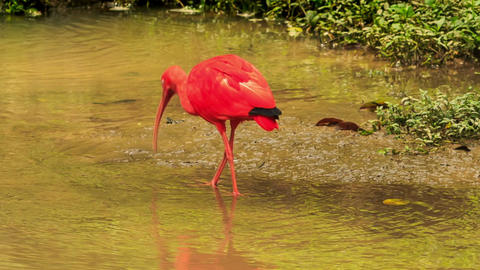 Bright Scarlet Ibis Walks in Shallow Water Footage