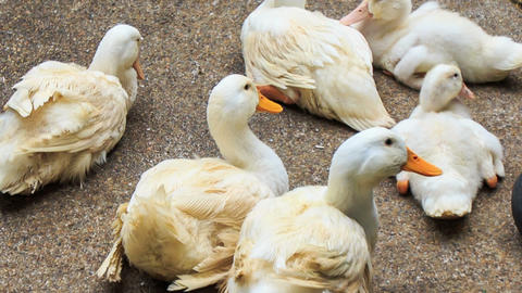Closeup White Ducks Rest on Stony Surface Footage