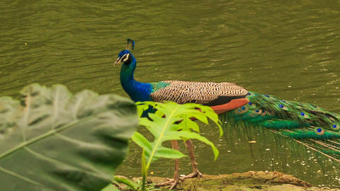 Closeup Peacock Walks along Stone against Water Footage
