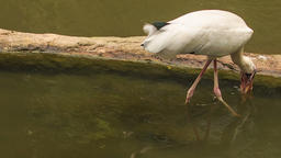 White Heron Catches Fish in Lake by Tree Trunk Footage