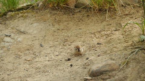 Common Sparrow pecks seeds Live Action