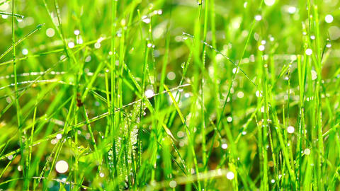 Grass with Dew Drops at Sunrise Footage