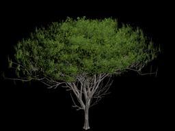 Acacia Plant 3D Modell