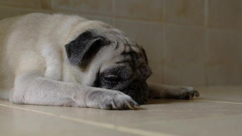 Pug dog about to sleep or nap Live Action