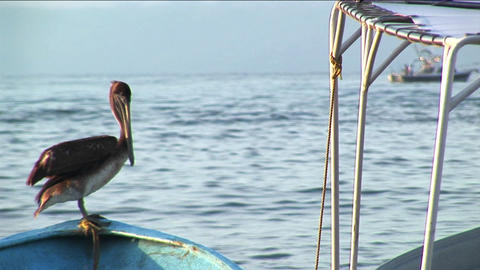 A pelican stands on the bow of a rowboat floating in water Footage