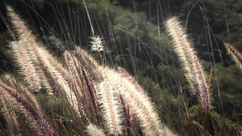 Foxtails wave in the breeze Stock Video Footage