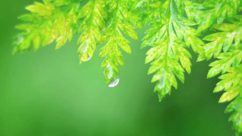 A drop of water falls off a leaf Footage