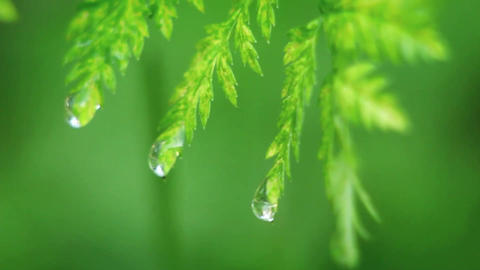 Drops of water fall from leaves Stock Video Footage