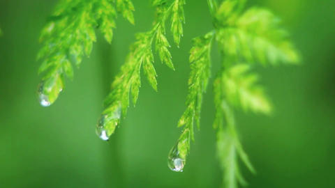 Drops of water fall from leaves Footage