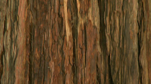 A vertical pan up the trunk of Coastal Redwood near the... Stock Video Footage