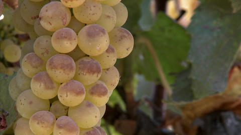 Chardonnay grapes ripen on the vine in California wine country Footage