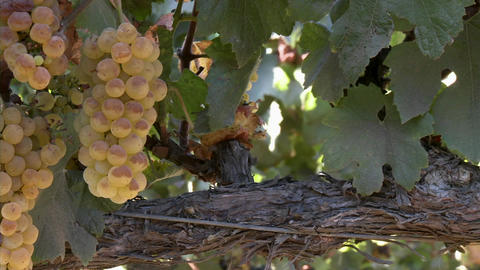 Vertical pan of Chardonnay grapes ripening on the vine in... Stock Video Footage