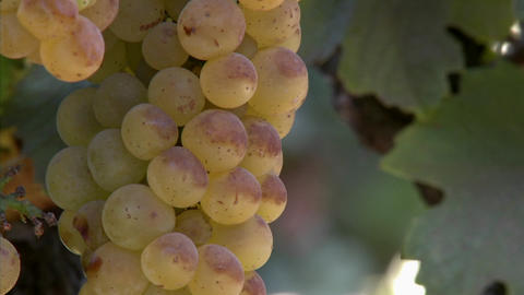 Vertical pan of Chardonnay grapes ripening on the vine in California wine country Footage