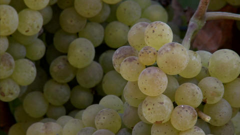 Pan of Chardonnay grapes ripening on the vine in... Stock Video Footage