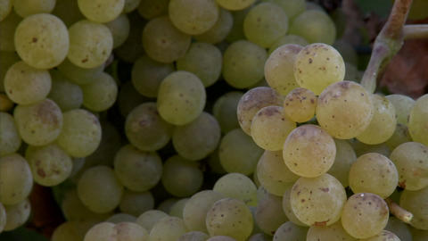 Pan of Chardonnay grapes ripening on the vine in California wine country Footage