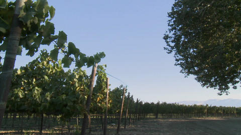 Slow pan across a vineyard on a windy day in California wine country Footage