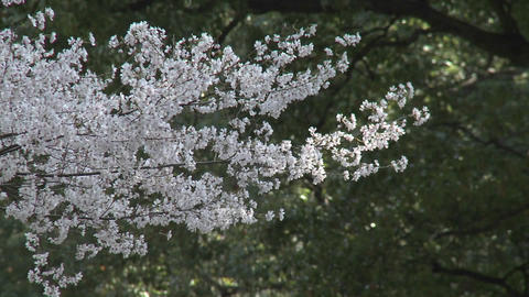Trees blowing in the wind in Ueno Park during the cherry blossom season in Tokyo, Japan Footage