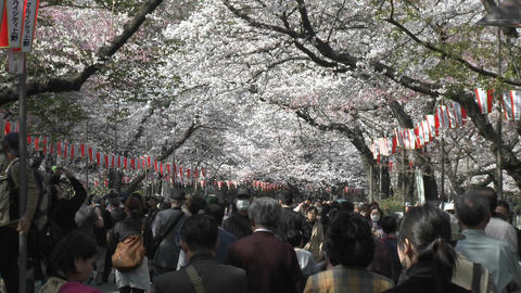 Crowded sidewalk in Ueno Park during the cherry blossom... Stock Video Footage