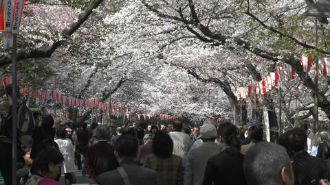 Crowded sidewalk in Ueno Park during the cherry blossom season in Tokyo, Japan Footage
