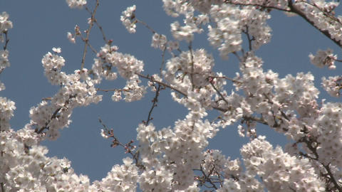 A tree in Ueno Park during the cherry blossom season in... Stock Video Footage
