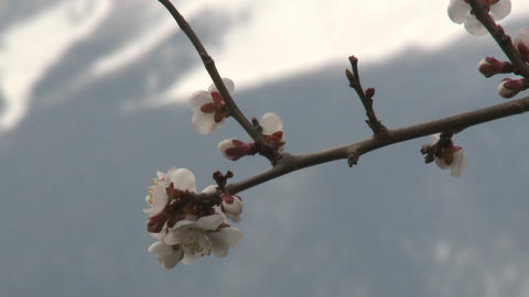 Cherry blossoms and Mt. Fuji, Japan Stock Video Footage
