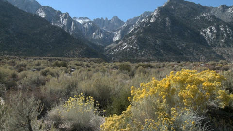 Vertical pan over wild flowers in the Alabama Hills and the Sierra Nevada Range above Lone Pine, Cal Footage