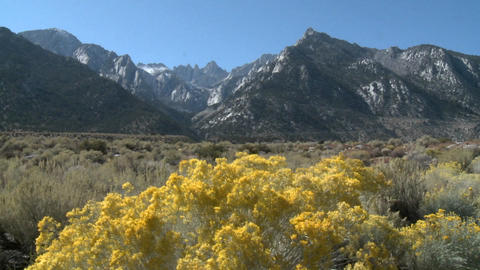 Wild flowers in the Alabama Hills and the Sierra Nevada Range above Lone Pine, California Footage