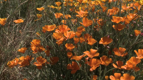 Vertical pan up a row of poppies in vineyard in the... Stock Video Footage