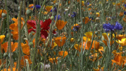 Poppy flowers blow in the wind in the Casablanca Valley near Valparaiso, Chile Footage