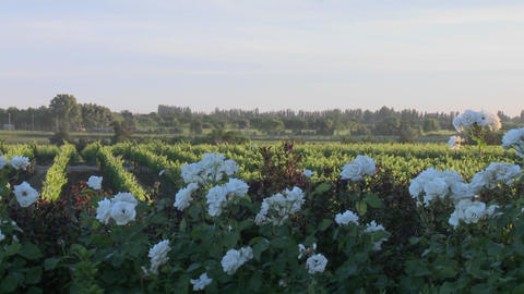 Pan across a vineyard in Talca, Chile Stock Video Footage
