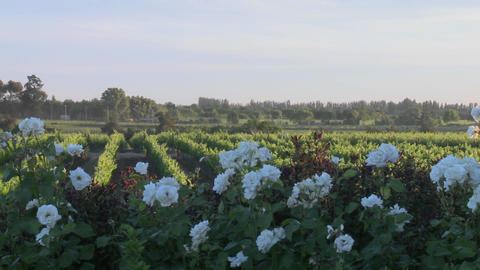Pan across a vineyard in Talca, Chile Footage
