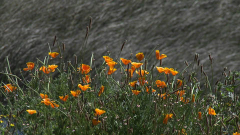 Poppies blowing in the breeze in Buchepureo, Chile Stock Video Footage