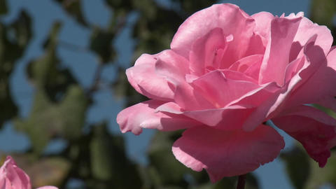 A rose in a vineyard near Talca, Chile Stock Video Footage
