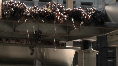 Red grapes tumble off the end of a conveyor belt at a modern winery in Talca, Chile Footage