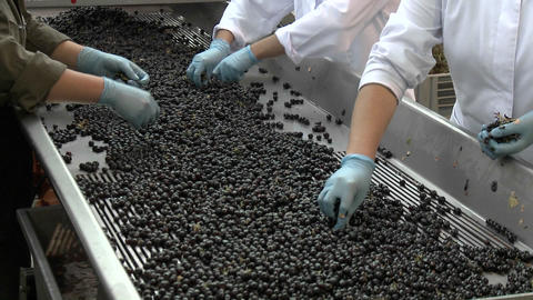 Hand sorting red grapes in Chile Footage