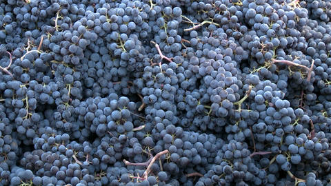 Vertical pan across a bin of red grapes during harvest in Chile Footage