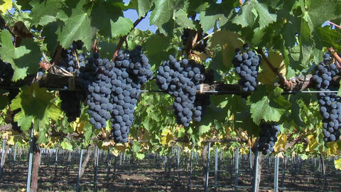 Slow move into a cluster of red wine grapes during... Stock Video Footage