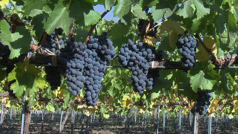 Slow move into a cluster of red wine grapes during harvest in Chile Footage