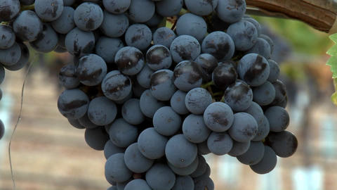 Slow move in on a cluster of red wine grapes during harvest season in Chile Footage