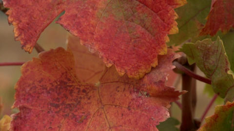 Vertical pan of grape leaves during harvest Stock Video Footage