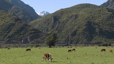 Dairy cattle in a pasture high in the Andes above Talca, Chile Footage