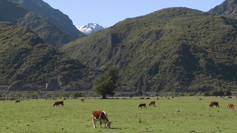 Dairy cattle in a pasture high in the Andes above Talca,... Stock Video Footage