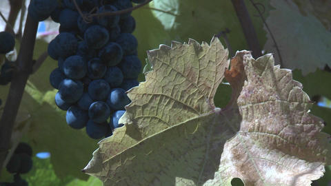 Close up of a cluster of Carmenere varietal wine grapes... Stock Video Footage