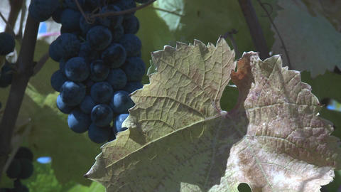 Close up of a cluster of Carmenere varietal wine grapes near Talca, Chile Footage