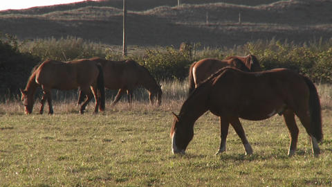 Horses graze in a pasture near Buchupureo, Chile Stock Video Footage