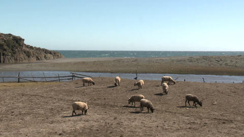 Sheep graze in a pasture near the ocean at Buchupureo, Chile Footage